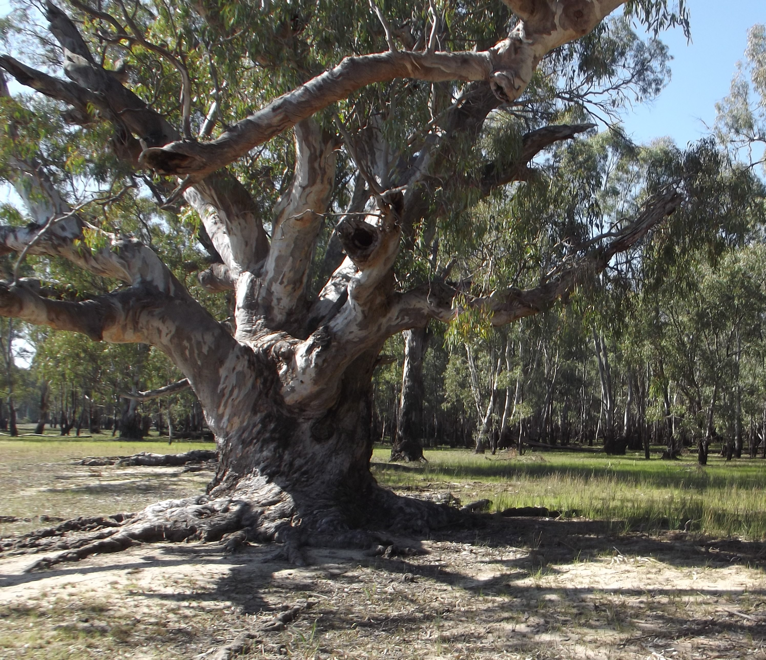 Three Sisters: An ancient river gum stands tall between two totems at the Barmah National Park, home to the world's largest river red gum forest.