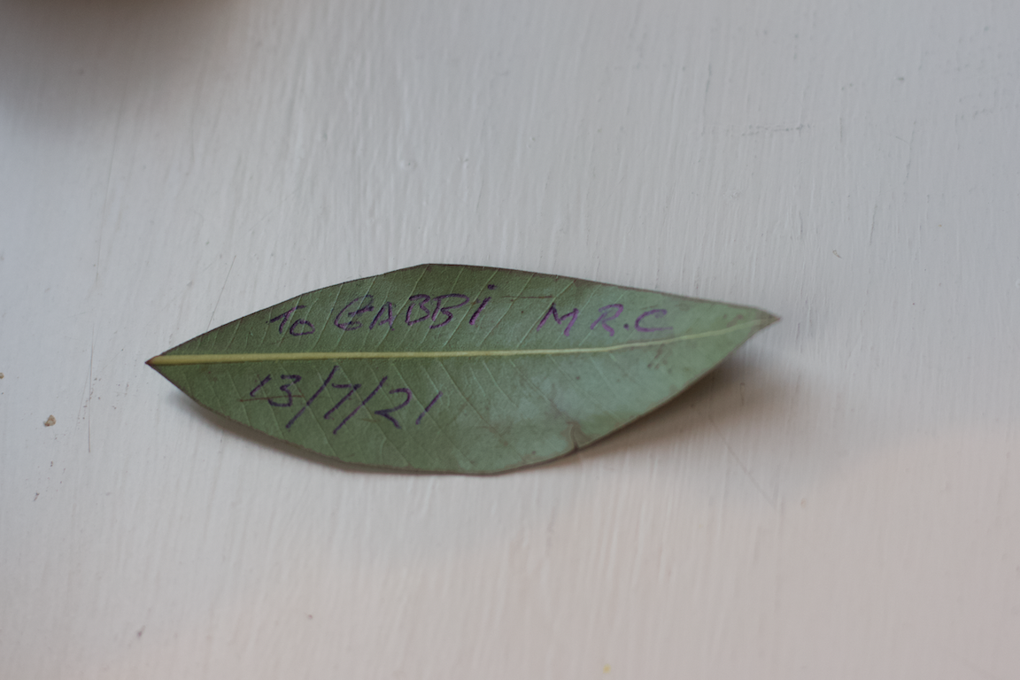 A gumleaf signed by Uncle Herb Patton, Armagh, July 2021 Photograph by Gabby Harcourt